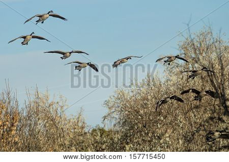 Flock of Canada Geese Coming in for a Landing in the Marsh