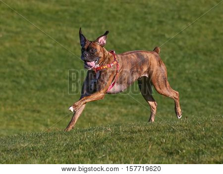 a happy excited boxer running up a hill in a park enjoying the outdoors on a beautiful summer day