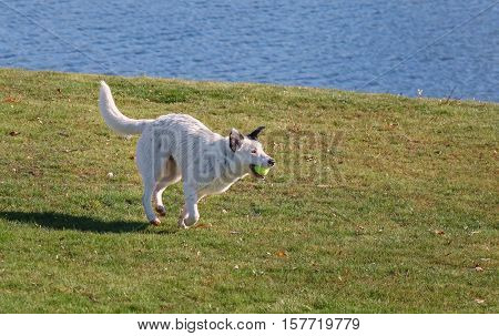 a dog playing a game of fetch with a tennis ball while enjoying the outdoors on a beautiful summer day