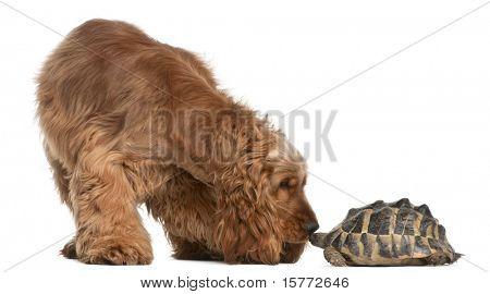 Cocker Spaniel Inglés, 2 años de edad y la tortuga de Hermann, Testudo hermanni, frente a b blanco