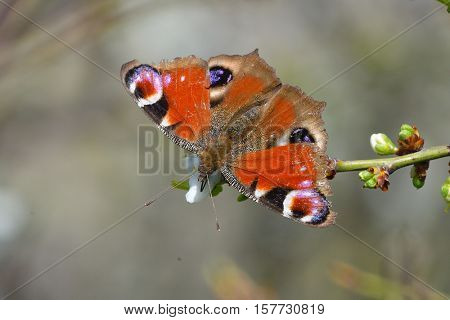 European Common Peacock butterfly (Aglais io, Inachis io) outdoor