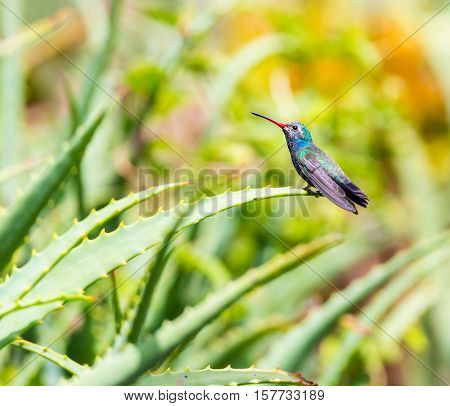 Broad Billed Hummingbird. Using different backgrounds the bird becomes more interesting and blends with the colors. These birds are native to Mexico and brighten up most gardens where flowers bloom.