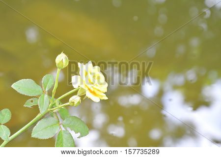 yellow rose blooming in garden beside the lake