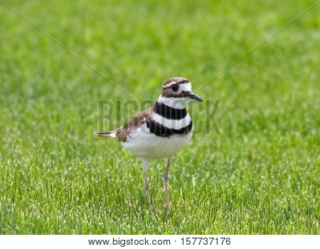 An adult Killdeer stands in green grass anxiously watching her chicks
