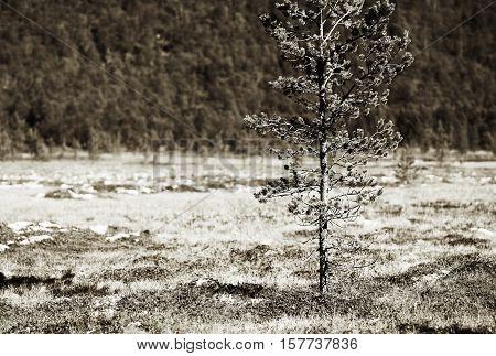 Fir tree single object vignette background hd
