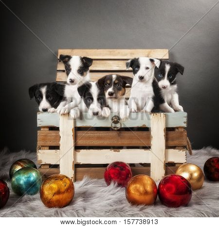 Six Border Collie puppies standing in a wooden box.