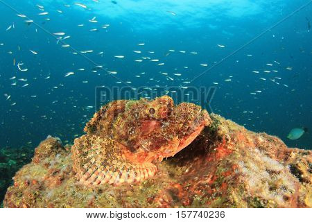 Scorpionfish fish on coral reef