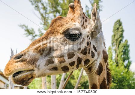 Rothschild's Giraffe head (Giraffa camelopardis rothschildi) closeup