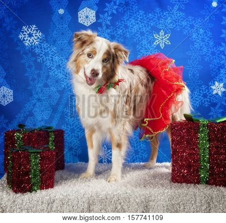 A Aussie wearing a Christmas Tutu with presents.