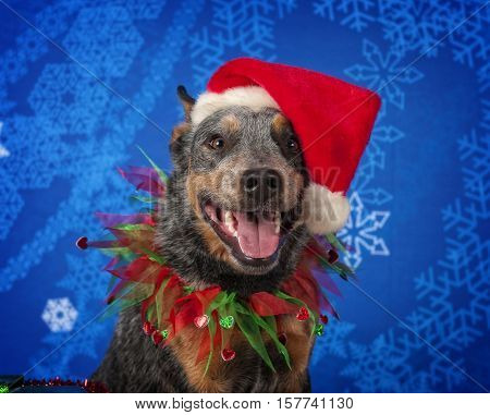 An Australian Cattle Dog wearing a Santa hat.