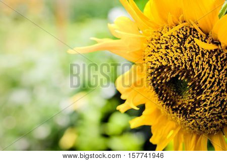Close up, Macro beautiful and colorful carpel of sunflower in daylight