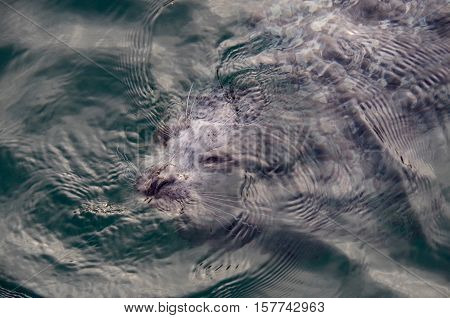 A Harbour seal is caught as its face just breaks the surface of the water the ripples of water obscuring its body and the sun glinting off of its nose. The photo was taken at Fisherman's Wharf in Victoria's Inner Harbour British Columbia.