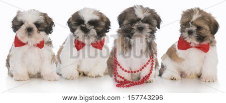 litter of shih tzu puppies on white background