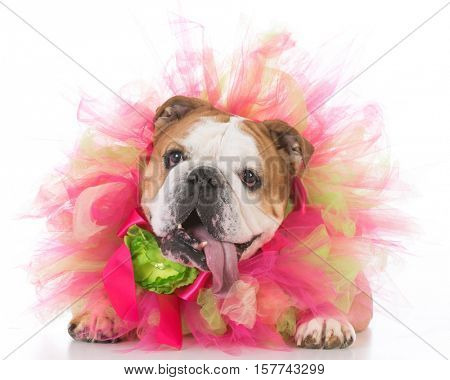 senior female bulldog wearing a tulle pink collar