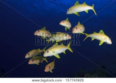Yellow fish blue water (Yellowfin goatfish school)