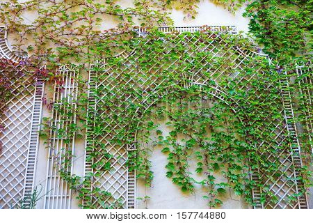 Wall With Climbing Supports Covered With Vine Tendrils
