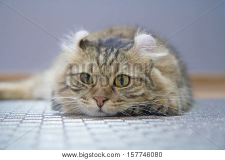 Soft selective focus to American Curl cat