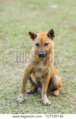 thai stray dog in grass , pet