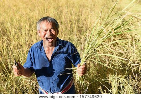 Farmers harvest rice.it's harvest time in rice fice