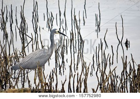 Australian White-faced Heron, Egretta novaehollandiae, wading through reeds and aerial mangrove roots on a river mudflat
