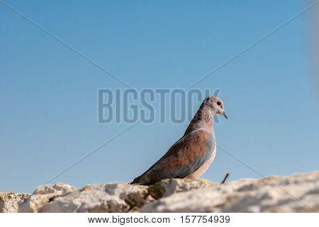 Macro of brown dove on Jerusalem Wall. Israel