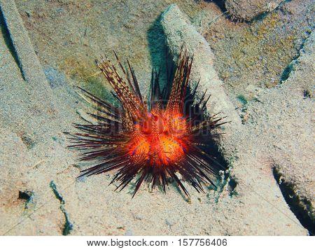 The surprising underwater world of the Bali basin, Island Bali, Puri Jati, sea urchin