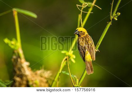 Asian golden weaver (Ploceus hypoxanthus) is a species of bird in the Ploceidae family. It is found in Cambodia Indonesia Laos Myanmar Thailand and Vietnam.