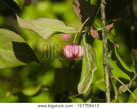 Ripe fruits on European or common spindle Euonymus europaeus close-up with bokeh selective focus shallow DOF