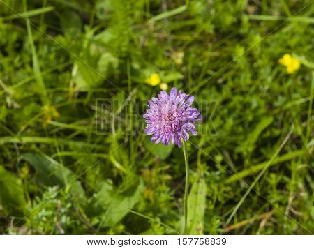Flower of Field Scabious Knautia Arvensis with bokeh background macro selective focus
