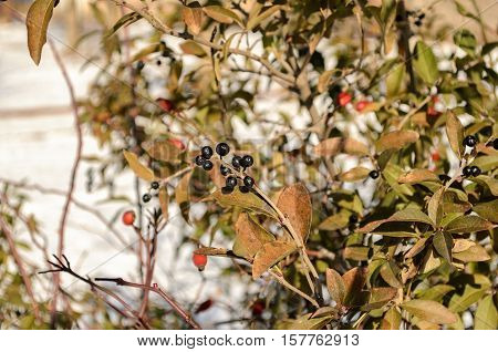 Wolf berries and wild-growing dogrose on a branch in the winter. Outdoors. Average plan. Horizontal format. Color. Photo.