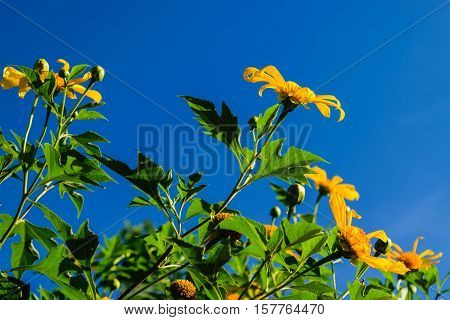 Mexican Sunflower bloom in clear blue sky