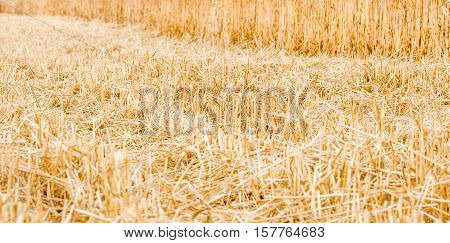 Closeup of wheat stubble and chaff the soil after harvesting and threshing of the grain. closeup, agriculture background