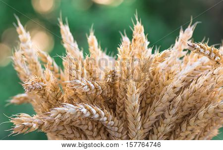 gold ears of wheat against green nature background , soft focus, closeup, agriculture