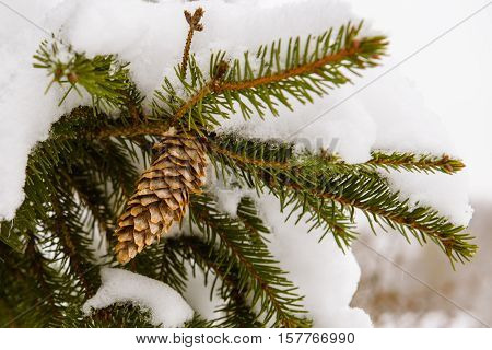 Fir cones on a branch in the winter under the snow