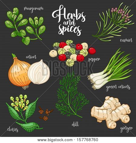Spices and herbs vector set to prepare delicious and healthy food. Colored botanical illustration on dark background with marjoram, onion, cloves, pepper, cumin, ginger, green onions, dill.