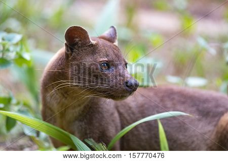 Fossa (Cryptoprocta ferox) cat-like carnivorous mammal endemic to Madagascar Fossa diet includes lemurs. Andasibe Vakona Private Reserve. Madagascar wildlife. poster
