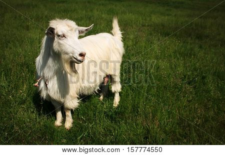 White horned goat on a green mead grass background