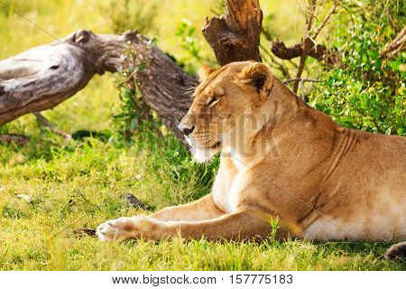 Side view portrait of beautiful African lioness having rest laying on a green grass