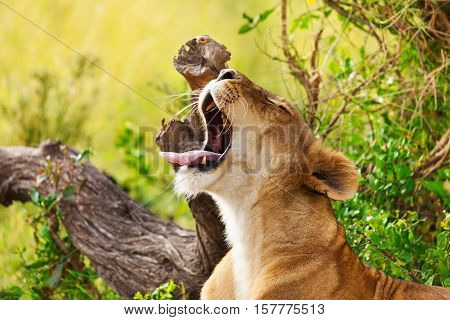 Close-up portrait of tired lioness with opened mouth and yawning