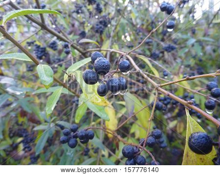 Detail Of Branch With Black Berry