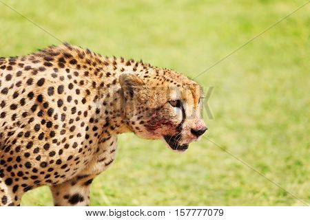 Side view portrait of wild cheetah after feasting, Masai Mara National Reserve