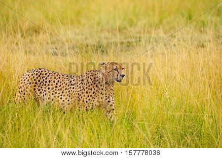 Side view portrait of African cheetah walking in the high grass, Masai Mara National Reserve, Kenya