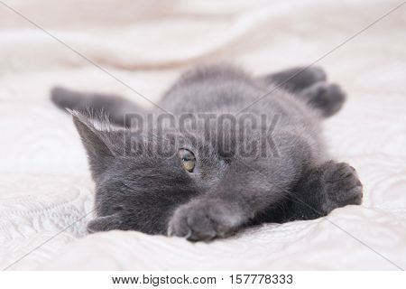 Small Gray Kitten Lying On A White Bed.