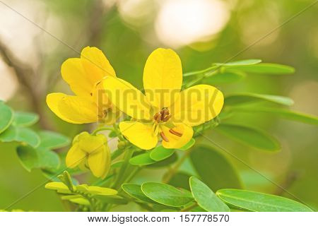 Closed up yellow flower American Cassia or Golden Wonder