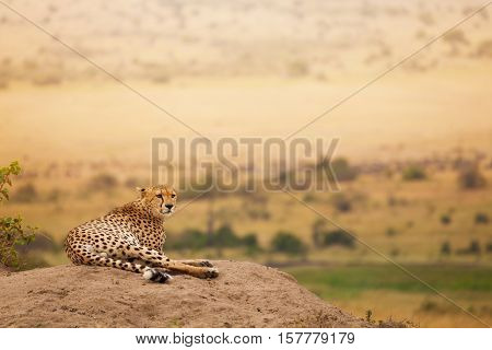 Portrait of adult African cheetah laying on the hill at Masai Mara National Reserve