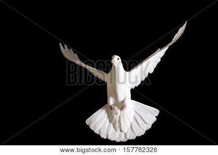 Peace dove flying isolated on black, delivery of letters, a symbol of peace, a symbol of purity
