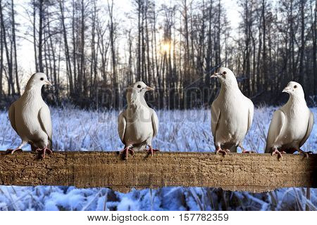 postal pigeons sitting on the fence winter morning, racing pigeons, mail delivery, excellent picture, frost, cold