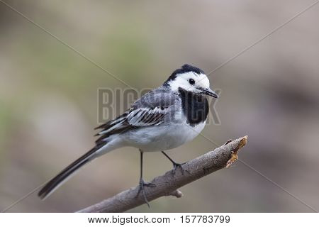 Portrait of white wagtail (Motacilla alba alba) standing on a branch