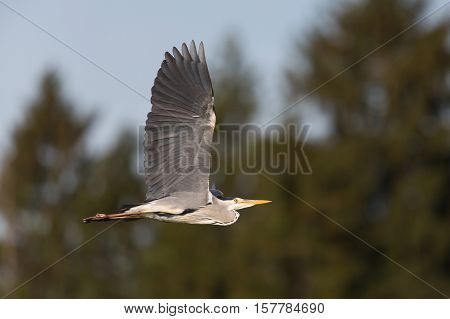 Grey Heron (ardea cinerea) during flight with trees and blue sky