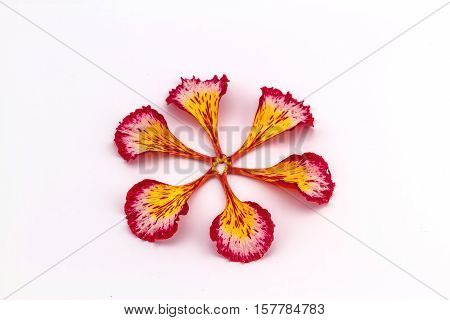 Colorful of Peacock's Crest leaves flowers or Caesalpinia pulcherrima (L.) Sw. flower stack in fan shape on white background